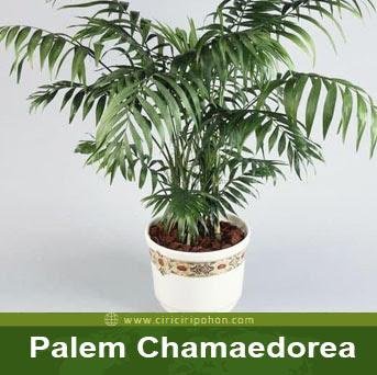ciri ciri pohon palem chamaedorea