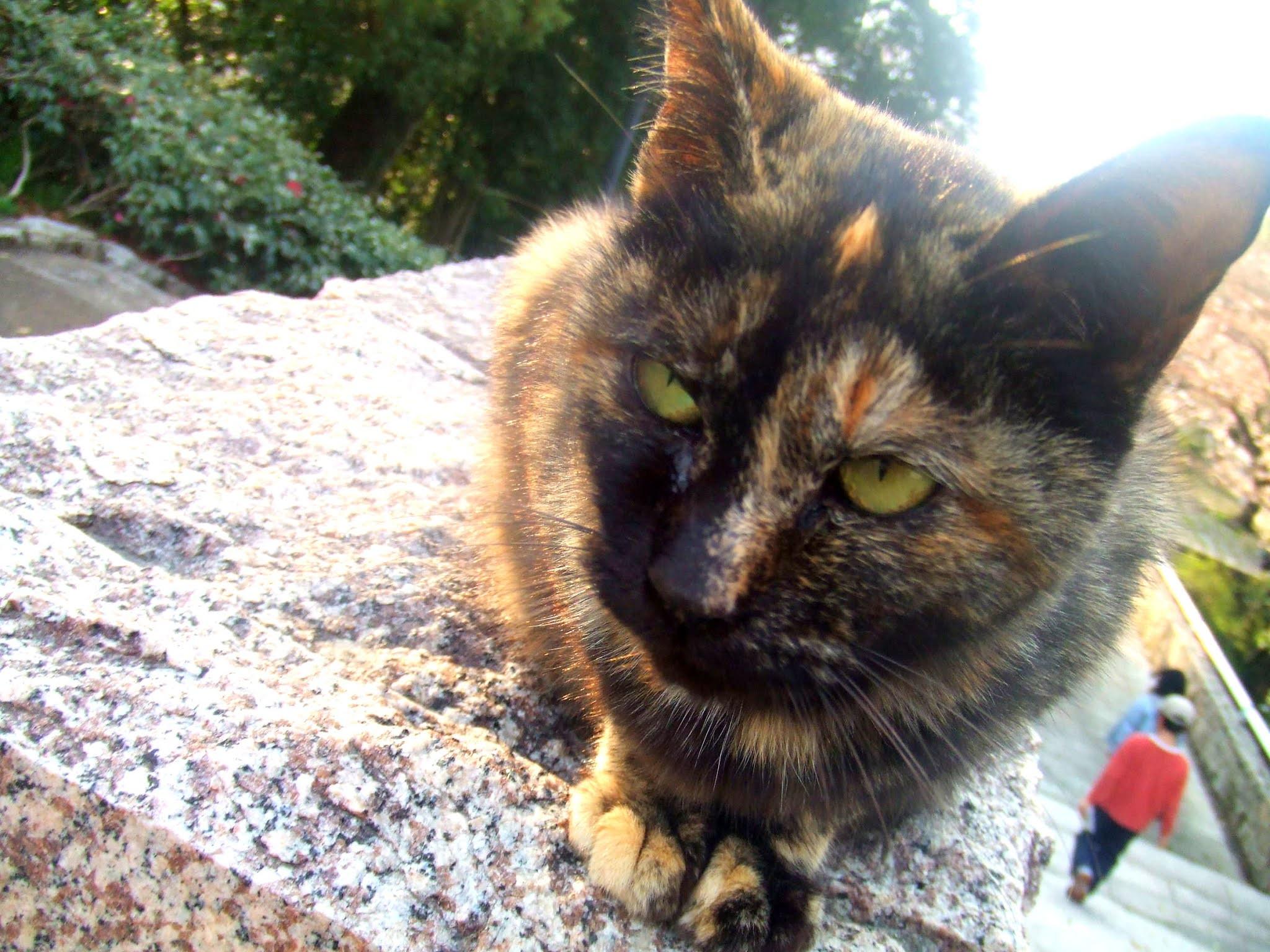 猫さんの全体の写真です。サビ猫さんの、真正面からの堂々たる雰囲気。猫ブログなどにどうでしょう。