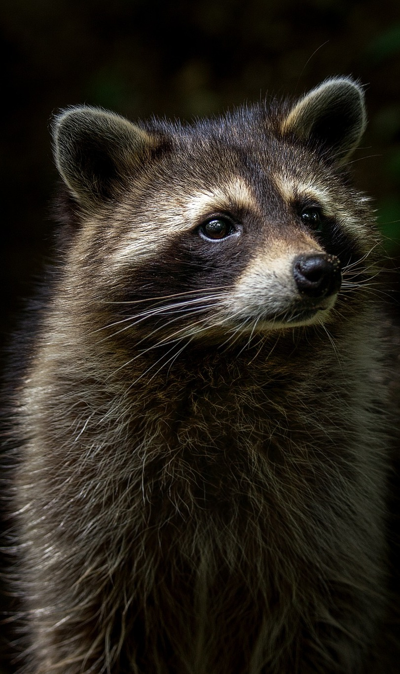 Portrait photo of a raccoon.