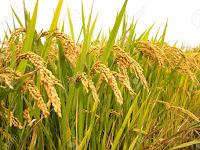 Inilah Cara Lengkap Budidaya Tanaman padi, Mulai dari Bibit Hingga Panen
