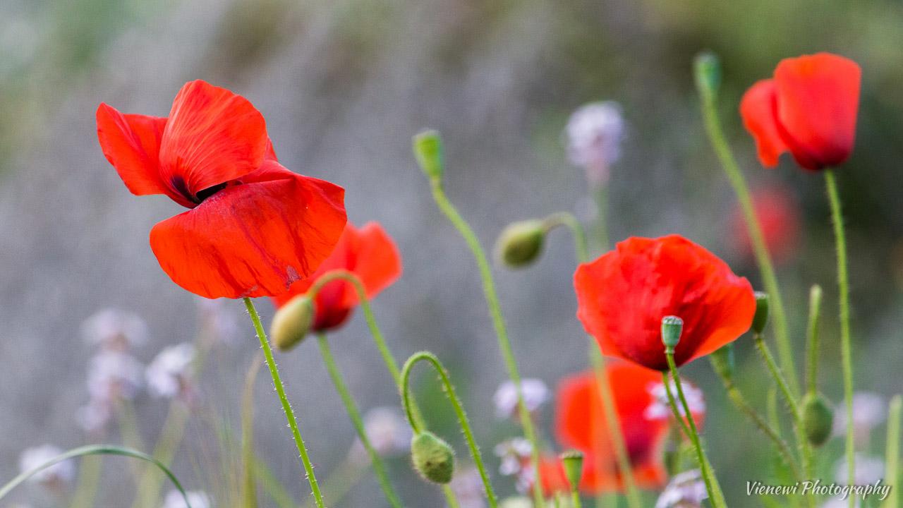 Polne kwiaty - czerwone maki i biało-szare puszyste rośliny.