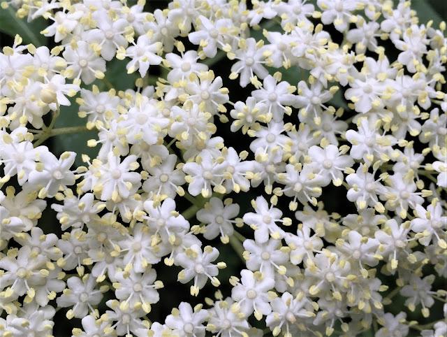 weiss blühende Holunderblütendolden