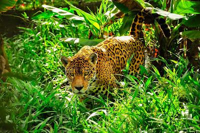Ягуары, красивы и дики