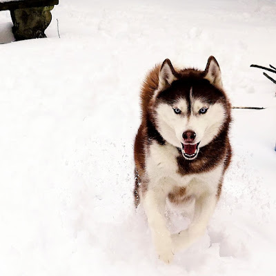 Siberian Huskies are high energy dogs. When they play, they play hard!  Huskies, Siberian Huskies, Snowdogs, Dogs playing in snow