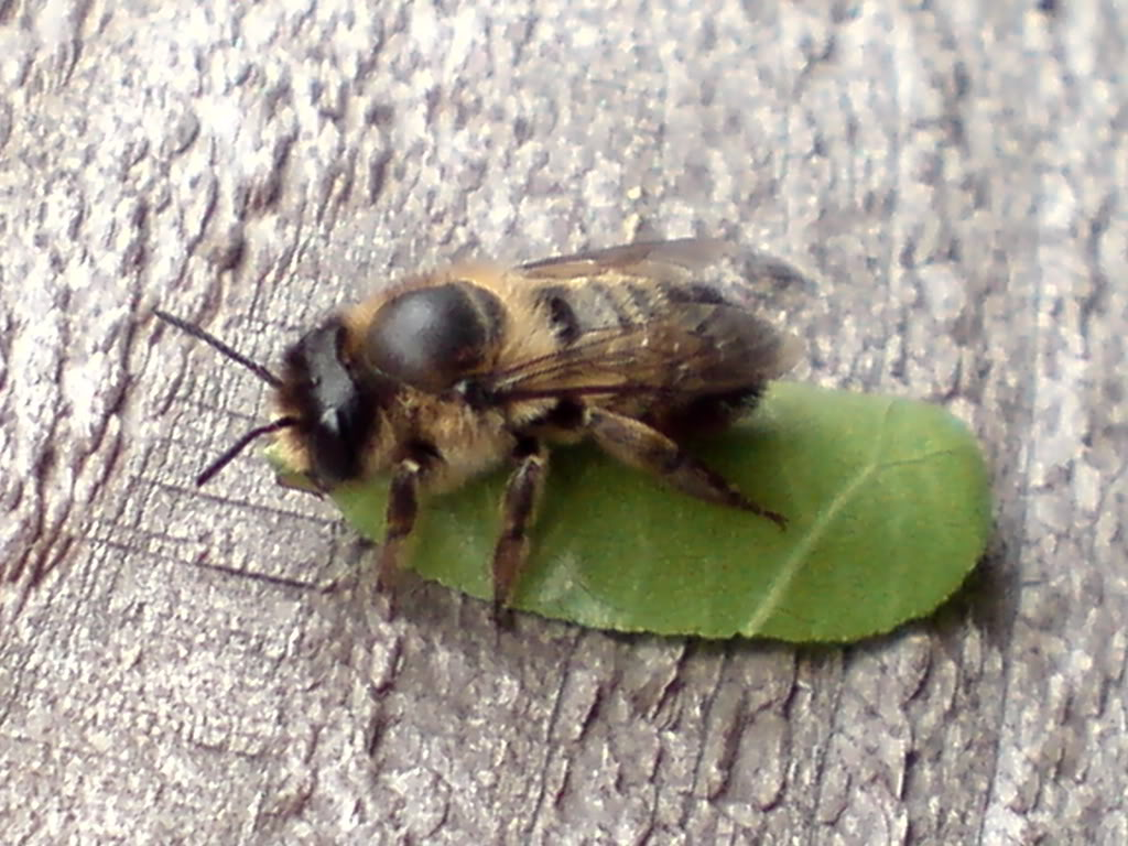 Image of a leafcutter bee.