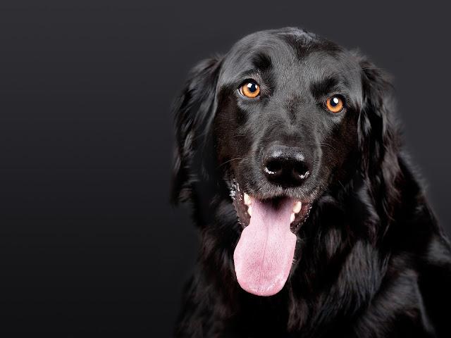 كلب أسود بعيون ملونة