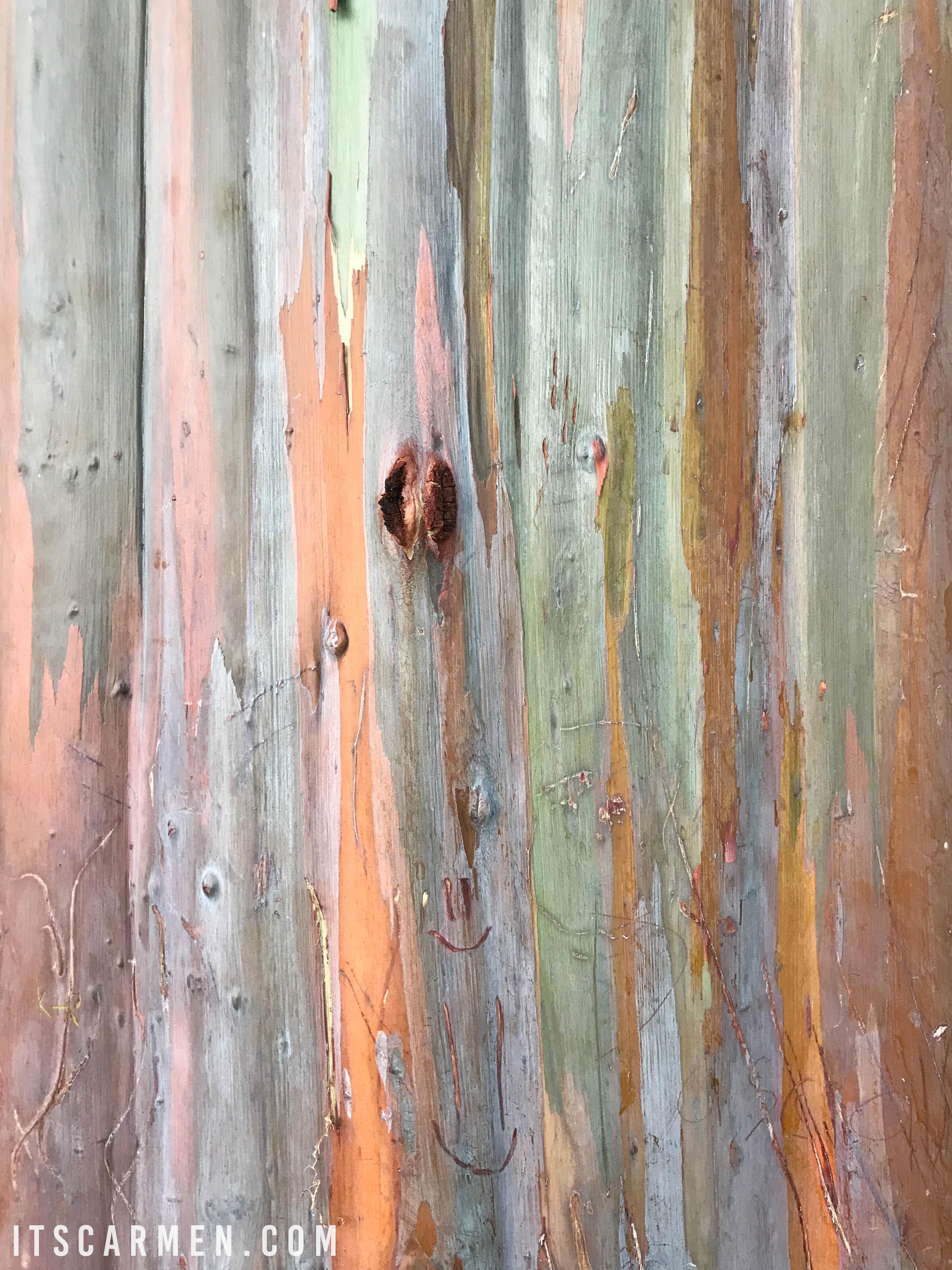 Rainbow Eucalyptus San Diego Tree in Balboa Park