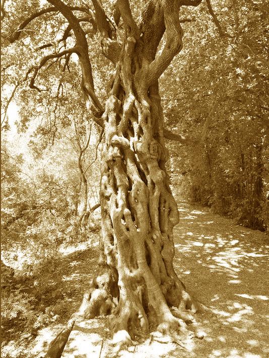 Phyllirea jardin des plantes de Montpellier