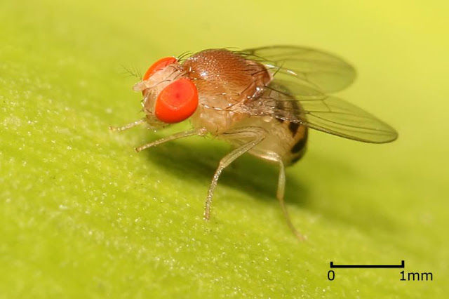 Fruit fly mutation foretells 40 million years of evolution