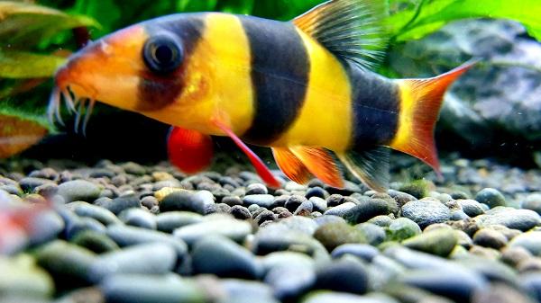 Best Large Freshwater Community Fish - Clown Loach