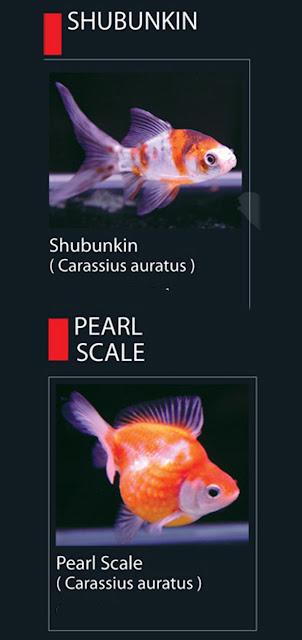 20. Shubukin  Nama Latin Carassius Auratus E. Jenis Ikan Hias Koki Pearl Scale   21. Pearl Scale Nama Latin Carassius Auratus