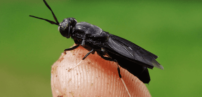 lalat Black Soldier Fly (BSF, Hermetia illucens)