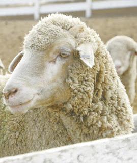 Columbia Sheep Advantages, Disadvantages, Temperament, Price