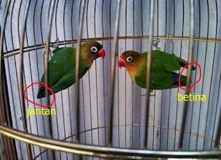 ciri ciri lovebird jantan dan betina