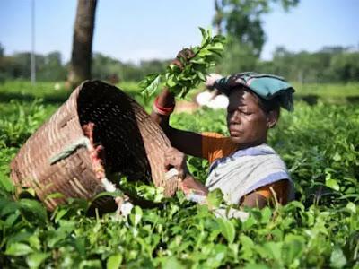 Tea export data
