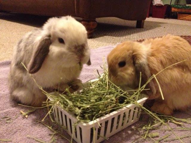 hay adalah Makanan kelinci hias  hollandlop yang benar Sehat dan Terbaik
