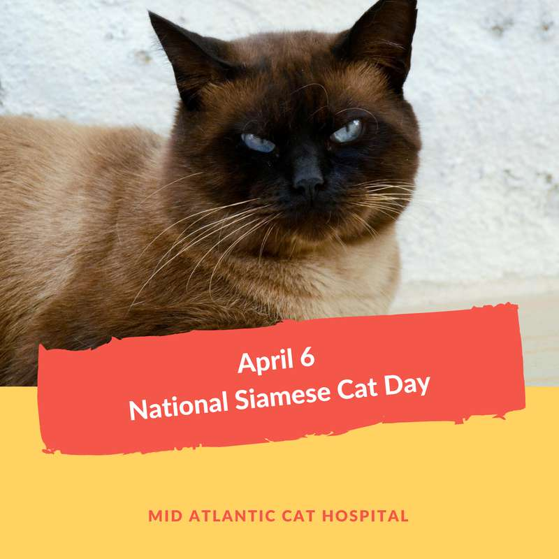 National Siamese Cat Day Wishes Images