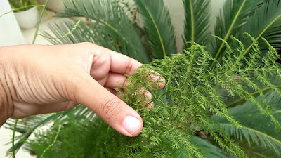 Images - 3 Simple Ways to Care for Ornamental Plants Asparaga Soil Media