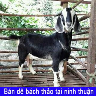 Bán dê bách thảo tại Ninh Thuận