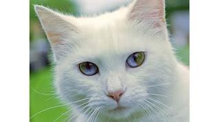 Ini Dia 8 Kucing Yang mempunyai Warna Mata Berbeda Namun Tampak Indah
