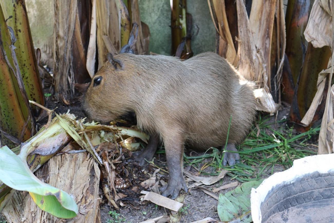 Capivara é resgatada em Ponta de Pedras pela Semma e entregue a zoológico