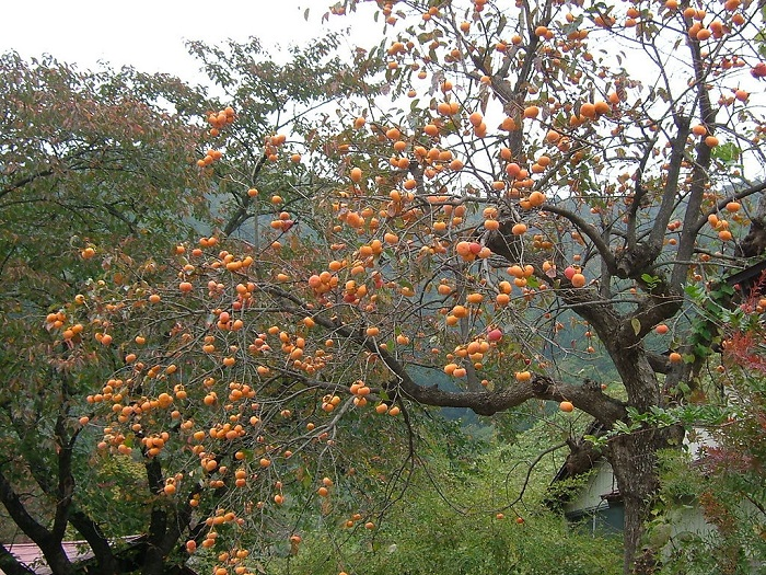 The Essential Guide To Probably Everything You Need To Know About Growing Persimmon The Permaculture Research Institute