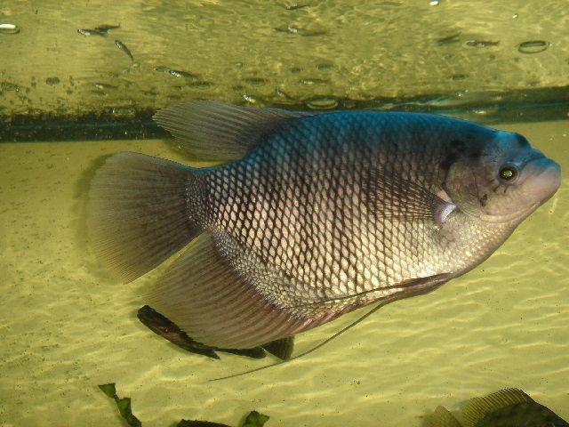 Teknik Jitu Budidaya Ikan Gurame Cepat Besar Hasil Menjanjikan