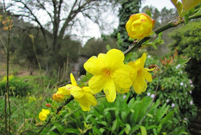 Jenis bunga Melati Primrose