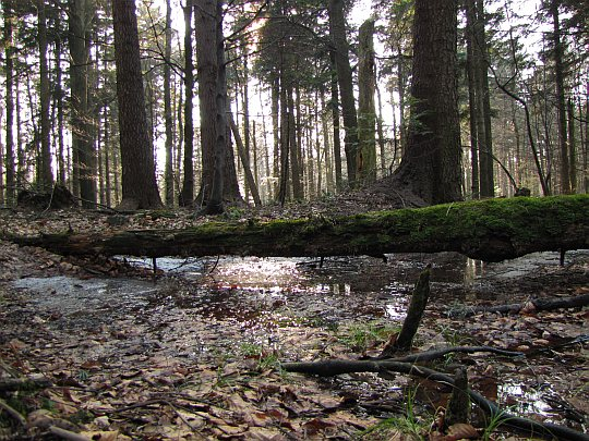 Stare drzewa upadają i próchnieją, ustępując miejsca nowym