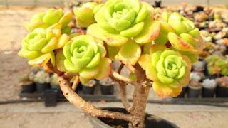 aeonium Aeonium lily pad