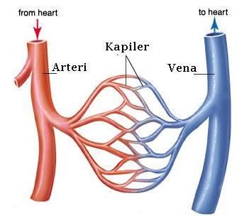 Pengertian dan Fungsi Pembuluh Darah Vena, Arteri dan Kapiler