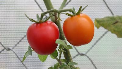 Cara Paling Mudah Menanam Tomat Dalam Pot