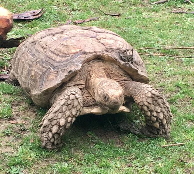 Giant Tortoise Hamerton Zoo Park