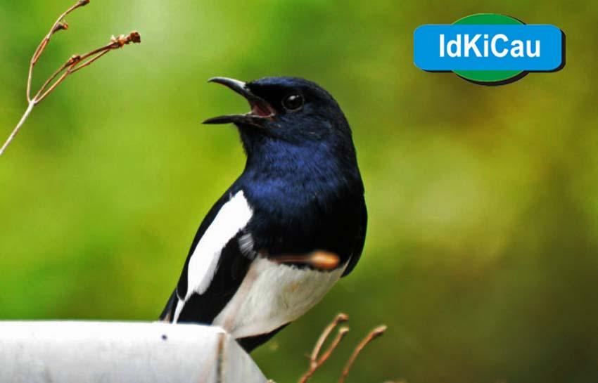 Kabar Terbaru Cara Ternak Burung Kacer Hingga Sukses Dijual Kabarterbaru Co