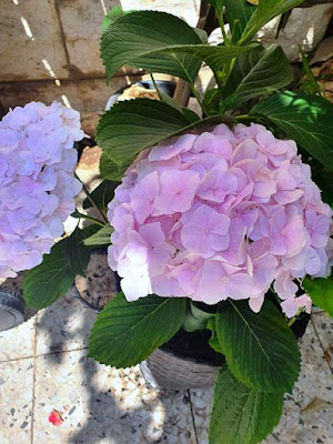 פרחי הורטנזיה בצבע ורוד