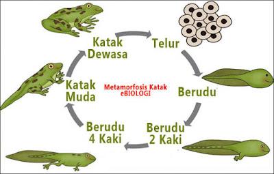 Pengertian Metamorfosis Sempurna dan Tidak Sempurna, Tahapan, Contoh Metamorfosis