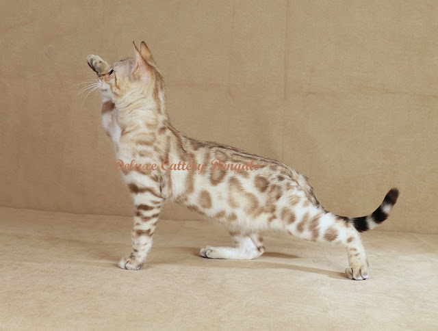 snow bengal cat breeders