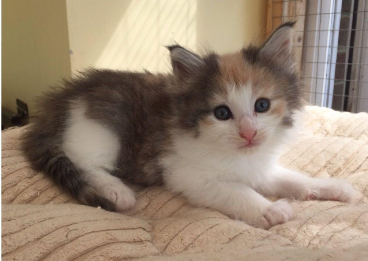 Kuwait Cats And Kittens Sales And Adoption Kuwait Kittens