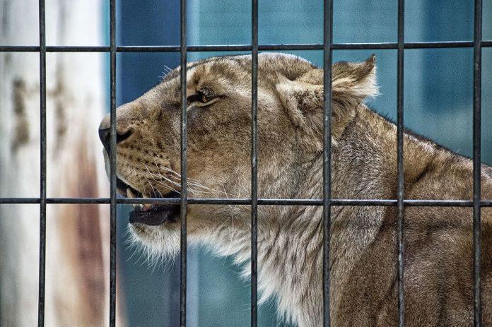 Lion-696x463
