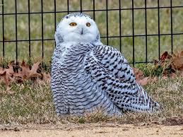 Snowy owl visits New York's Central Park for first time since 1890