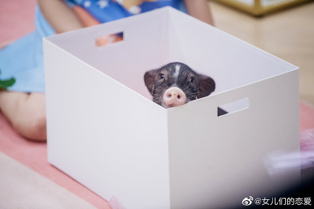 zheng shuang pet pig
