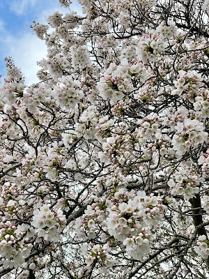 White flowering cherry tree in full bloom