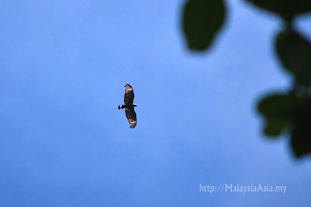 Sabah Raptor Photo