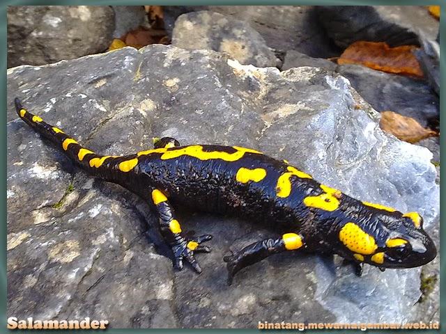 gambar binatang amfibi salamander