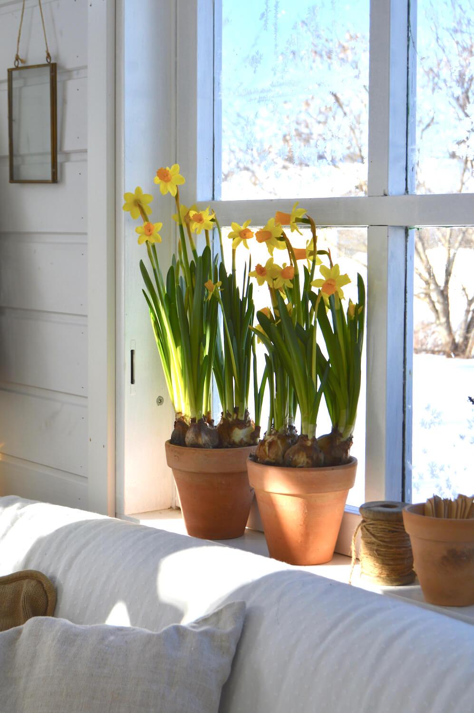 narsissit-ikkunalla