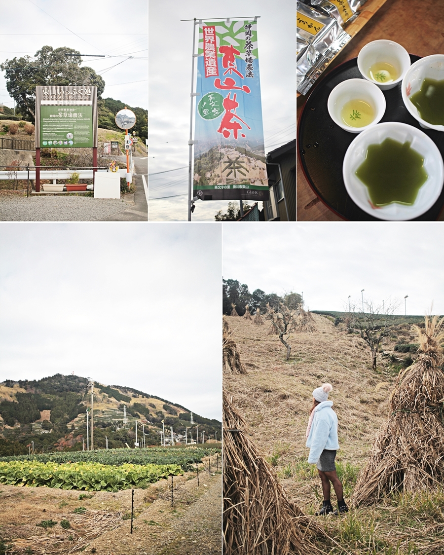 kakegawa tea farming