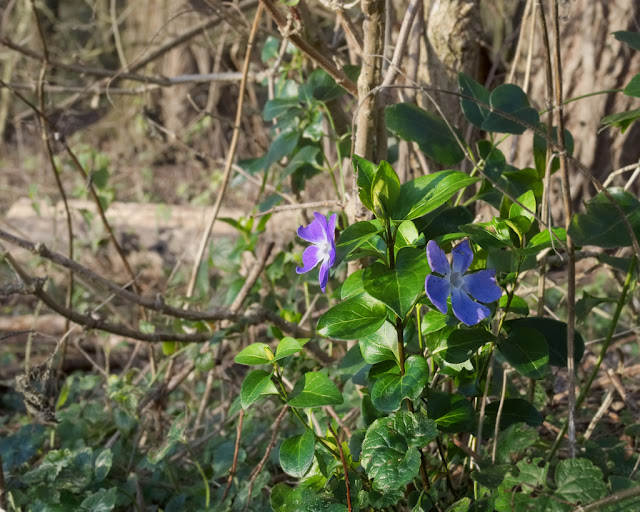 Periwinkle flowering with trees behind