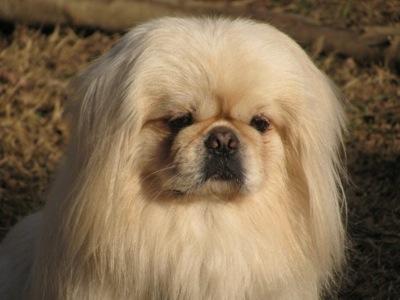 Cute Dogs: White Pekingese Dog