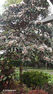 Tree with pink flowers - Queen Kapiolani Garden, Waikiki, Oahu, HI