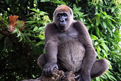 غوريلا الأنهر(Cross River Gorilla)    50 من أكثر الأنواع المهددة بالانقراض في العالم